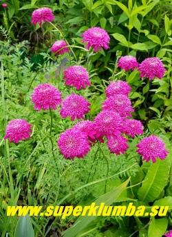 """ПИРЕТРУМ ГИБРИДНЫЙ """"Махровый розовый"""" (Pyrethrum hybridum f. flore plena rosea) очень красивые малиново-розовые густомахровые соцветия 5-6 см в диаметре, цветет июнь-июль, высота 50 см,  ЦЕНА 350 руб (1 шт)"""