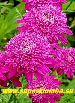 """ПИРЕТРУМ ГИБРИДНЫЙ """"Махровый розовый"""" (Pyrethrum hybridum f. flore plena rosea)   ЦЕНА 350 руб (1 шт)"""