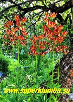 Лилия МАРТАГОН гибрид «АРАБИАН НАЙТ» (Lilium martagon «Arabian Knight») Редкий мартагон гибрид. Настоящий арабский рыцарь! Темно-бордовая с ярко-жёлтым напылением в центре и крапом в тон цветка, желтой каймой и тычинками. Характерная чалмовидная форма цветка. Цветок 10-15см. Высота 80-150 см. Цветет в июле-августе. НОВИНКА! ЦЕНА 600 руб (1 шт)