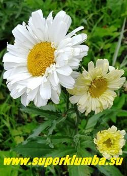 """Нивяник """"РЕАЛ ДРИМ"""" (Leucanthemum """"Real Dream"""") Во время цветения на кусте присутствуют разные оттенки цветов:  от ярко-жёлтого до сливочно-белого.   Куст компактный с темно-зелеными зубчатыми листьями, хорошо держит форму. НОВИНКА! ЦЕНА 400 руб (делёнка) НЕТ НА ВЕСНУ!"""