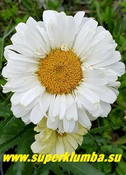 """Нивяник РЕАЛ ДРИМ (Leucanthemum """"Real Dream"""")  Новый жёлтоцветковый сорт с полумахровыми цветами, лимонно-желтыми в роспуске и постепенно светлеющими до сливочно белых. Лепестки широкие, притупленные на концах, компактные, плотно в  несколько рядов обрамляют  ярко-желтую серединку.  Высота растения  45-50 см  НОВИНКА! ЦЕНА 400 руб (делёнка) НЕТ НА ВЕСНУ!"""
