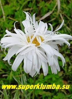 """Нивяник  КРЕЙЗИ ДЕЙЗИ (Leucanthemum Crazy Daisy)  полумахровые ромашки """"растрёпки"""" с   лепестками расположенными в живописном беспорядке, диаметр цветка 8-10 см, высота до 70 см, цветет июль- август, НОВИНКА!  ЦЕНА 350 руб (делёнка)  НЕТ НА ВЕСНУ."""