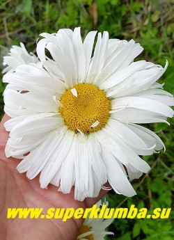 """Нивяник """"ДВУХРЯДНАЯ""""  крупные полумахровые цветы  с лепестками в 2-3 ряда, диаметром 10-12 см с широкими лепестками. Высота 60-70 см.  НОВИНКА! ЦЕНА 300 руб (делёнка) НЕТ НА ВЕСНУ"""