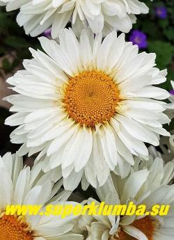 """Нивяник """"ПАЛАДИН """" (Leucanthemum """"Paladin"""")  Крупные пышные цветы с многослойной,   в 3-4 ряда,  оборкой из лепестков вокруг большого желтого центра. Соцветия на крепких   цветоносах, высота  50-60 см.  НОВИНКА! ЦЕНА 350 руб (делёнка) НЕТ НА ВЕСНУ"""