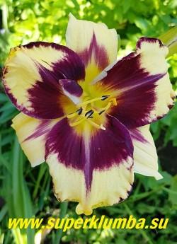 Лилейник АЙ ОН АМЕРИКА (Нemerocallis Eye On America) яркие кремово-желтые цветы с большим темно-сливовым глазом и такой же каймой по краю лепестка, диаметр цветка 13-14 см, высота 60 см.  Очень яркий. НАГРАДЫ: HM-02.   ЦЕНА 400 руб (1 шт)
