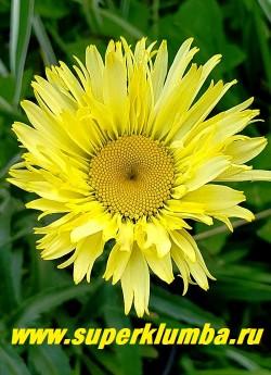 """Нивяник """"ГОЛД ФИНЧ"""" (Leucanthemum """"Gold Finch"""")  Самый желтый   среди  жёлтых нивяников. Цветки диаметром 8 см, полумахровые, жёлто-золотистого цвета. Постепенно меняется  до оттенка слоновой кости. Стебли крепкие, высота до 60 см.  ЦЕНА 450 руб.  (делёнка) НЕТ НА ВЕСНУ!"""