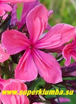 """Флокс метельчатый КЛЕОПАТРА (Phlox paniculata Cleopatra) цветок с """"плиссировкой""""  крупным планом.  В середине каждого лепестка имеющие дополнительный ряд коротких приросших видоизмененных зачаточных лепестков  меньшего размера, создающие впечатление плиссировки и делающие цветок более пушистым и объёмным. НОВИНКА! ЦЕНА 400 руб(1 шт) НЕТ НА ВЕСНУ."""