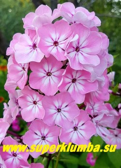 Флокс метельчатый НАХОДКА (Phlox paniculata Nahodka) Скрастынь Н.Ю, 1964, С, 90/3,7. Нежно-розовый с большой белой звездой и красноватыми трубками, соцветие овальное, большое, очень плотное. ЦЕНА 250 руб (1 шт) или 500 руб  (куст 3-4шт)