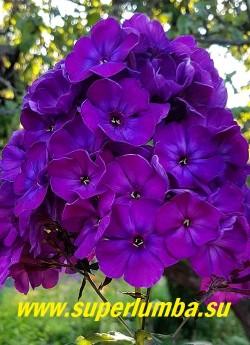 Флокс метельчатый ТАЙНА (Phlox paniculata Taina) Гаганов П.Г., 1963, С, 90/3,6. Тёмно-фиолетово-синий, чернильный. Самый тёмный из фиолетовых. Соцветие округлое, средних размеров, плотное. Куст прочный, разрастается медленно. Листья характерные, тройные, края гофрированные. ЦЕНА 350 руб (1 шт) или 800 руб (кустик :3-4 шт)