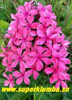 Флокс метельчатый КЛЕОПАТРА (Phlox paniculata Cleopatra) С, 60-80/3.7-4.0.  Первый гибрид с 3D-формой цветка! Розово-красные,  ароматные, очень необычные, звездообразные цветки, в середине каждого лепестка имеющие дополнительный ряд коротких приросших видоизмененных зачаточных лепестков  меньшего размера, создающие впечатление плиссировки и делающие цветок более пушистым и объёмным. Соцветие округло-коническое, средней плотности.  НОВИНКА! ЦЕНА 400 руб(1 шт) НЕТ НА ВЕСНУ.
