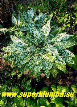 МЕДУНИЦА САХАРНАЯ «Метелица»  (Pulmonaria saccharata) Собственный сеянец  с широкими темнозелеными листьями,  покрытыми крупными   серебристыми пятнами,  которые  сливаются воедино по мере взросления листа, образуя серебряный  фон с темно зелеными пятнами. Цветет  в апрееь-мае розово-синими цветами. НОВИНКА! ЦЕНА 250 руб (делёнка)