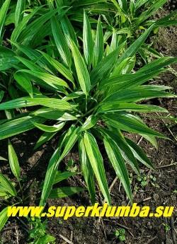 Хоста  ХЬЮГА УРАДЖИРО (Hosta Hyuga Urajiro) взрослый кустик в   саду. НОВИНКА! ЦЕНА 700 руб