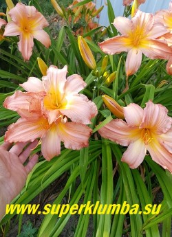 Лилейник КЭРАМБА (Hemerocallis Caramba)  обильное цветение. НОВИНКА! ЦЕНА 500 руб (1 шт)