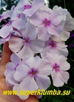 Флокс метельчатый АТЛАНТ (Phlox paniculata Atlant)   цветы крупным планом.   ЦЕНА 300 руб  (1 шт) или 600 руб (кустик: 3-4 шт)