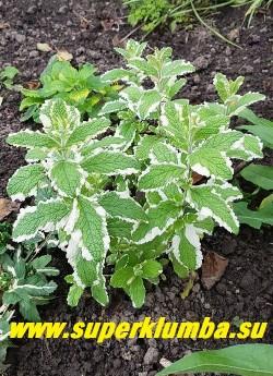 МЯТА ДУШИСТАЯ «ВАРИЕГАТА» (Mentha suaveolens Variegata) мята с морщинистыми продолговатыми нежно зелеными листочками с кремово-белой каймой. Нарядна  и в огороде и в цветнике. Нежный мятный аромат.   Высота 20-35 см. НОВИНКА! ЦЕНА 200 руб (делёнка)