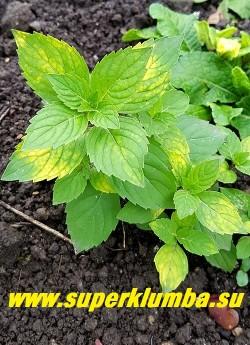 МЯТА ДЖИНДЖЕР МИНТ /ИМБИРНАЯ (Mentha х gentilis Ginger Mint)  Нарядный сорт  с  аккуратными густыми кустиками  30-45см в высоту. Листочки небольшие светлозеленые с золотыми штрихами и черточками и пурпурными стеблями с сильным ароматом имбиря.   НОВИНКА! ЦЕНА 250руб (делёнка)