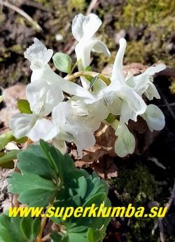 ХОХЛАТКА МАЛКСКАЯ (Corydalis malkensis) хохлатка со снежно белыми крупными цветами . Высота Высота 10-20 см. НОВИНКА!  НЕТ В ПРОДАЖЕ.