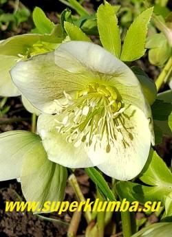 """МОРОЗНИК ВОСТОЧНЫЙ (Нelleborus orientalis)  Встречаются вариации с более сильно """"веснушчатыми """" цветами и менее, почти без крапа.    ЦЕНА 200-300 руб"""