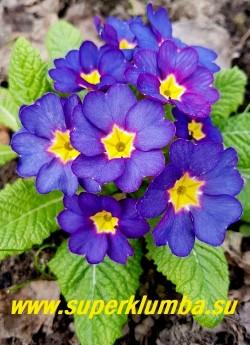 """Примула бесстебельная """"ФИАЛКОВАЯ"""".    Пурпурные бутоны раскрываются  в  крупные фиалковые цветы с пурпурными изнанкой и краями.   Может менять цвет в конце  цветения на полностью  пурпурный.  Высота 10-14 см, цветение апрель-май. НОВИНКА! ЦЕНА 400 руб (штука)"""