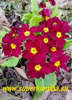 Примула бесстебельная «ВИШНЕВАЯ» бархатные темно вишневые крупные   цветы с  желтой звездочкой в центре, высота до 15 см, цветет в мае, НОВИНКА! ЦЕНА 250 руб