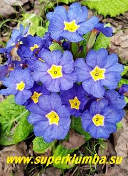 Примула бесстебельная  ВАСИЛЬКОВАЯ (Primula acaulis ) изумительный  васильково-синий  цвет! Очень заметная в саду.   В зависимости  от погоды может  приобретать пурпурные   оттенки. Высота 10 см. цветение апрель-май. НОВИНКА! НЕТ НА ВЕСНУ ЦЕНА 500руб (штука)