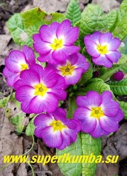 Примула бесстебельная «ПУРПУРНО-ФИОЛЕТОВАЯ».  Цвет   в зависимости от освещения  меняется от малиновых  на солнце, до фиолетовых оттенков в тени.   Высота 10-14 см, цветение апрель-май. НОВИНКА! ЦЕНА 350 руб (штука)