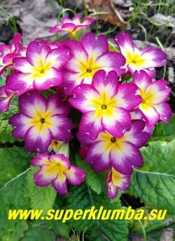 """Примула бесстебельная """"ФЁКЛА"""".   Очень нарядные   крупные свекольные  цветы с большим белым  центром и маленькой  желтой звездой в центре. Высота  10-12 см, цветет в мае-июне, НОВИНКА!  НЕТ В ПРОДАЖЕ."""