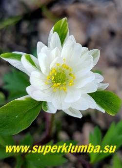 АНЕМОНА ДУБРАВНАЯ «Брактеата пленифлора» (Anemone nemorosa «Вracteata Pleniflora») цветок в начале роспуска, белый с зеленым центром. НОВИНКА! ЦЕНА 450 руб (деленка)