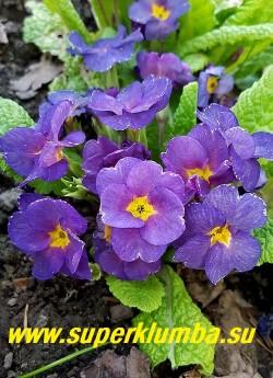 Примула бесстебельная «ПЕПЕЛЬНО-СИНЯЯ».  Сложный синий цвет с  необычным пепельным оттенком, на фотографии  передать  оттенок не получается. Высота 10-14 см, цветение апрель-май. НОВИНКА! ЦЕНА 450 руб (штука)