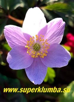 АНЕМОНА ДУБРАВНАЯ «Блю Бьюти (Anemone nemorosa «Blue Beauty»)  крупные голубые с сиреневым оттенком цветы, диаметр цветка 5 см, листья с бронзовым оттенком, высота растения 15-17 см, цветет с мая. Полутень. Эфемероид. ЦЕНА 450 руб (делёнка)