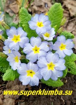 Примула бесстебельная  БЛЮЗ (Primula acaulis Barnhaven Blues) нежнейший лазурно-голубой цвет! Необыкновенно красивый сорт.  Высота 10см. цветение апрель-май. НОВИНКА! НЕТ НА ВЕСНУ