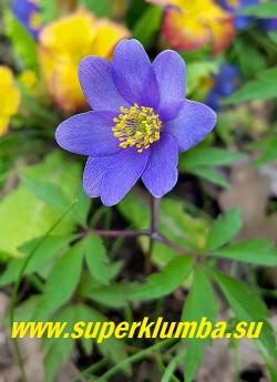 """АНЕМОНА ДУБРАВНАЯ """"Мартс блю"""" (Anemone nemorosa """"Mart's Blue"""") новый сорт  с самыми темно-синими  на сегодняшний день цветками,    диаметр цветка 4 см, высота растения 15 см, цветет с мая. Полутень. Эфемероид.     ЦЕНА 500 руб (делёнка)"""