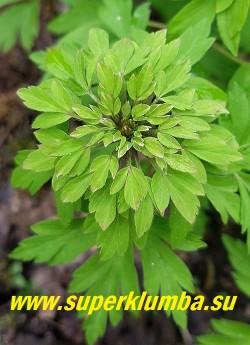 АНЕМОНА ДУБРАВНАЯ «Виридесценс» (Anemone nemorosa «Viridescens») Соцветие крупным планом. НОВИНКА! ЦЕНА 400 руб (деленка)