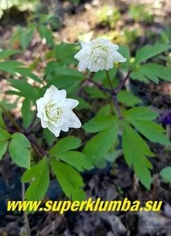 АНЕМОНА ДУБРАВНАЯ «Блю айз» (Anemone nemorosa «Blue Eyes»)  в начале роспуска махровая чисто белая. НОВИНКА! ЦЕНА 600 руб (делёнка)