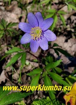 """АНЕМОНА ДУБРАВНАЯ """"Мартс блю"""" (Anemone nemorosa """"Mart's Blue"""") новый сорт  с самыми темно-синими  на сегодняшний день цветками,    диаметр цветка 4 см, высота растения 15 см, цветет с мая. Полутень. Эфемероид.     ЦЕНА 400 руб (делёнка)"""