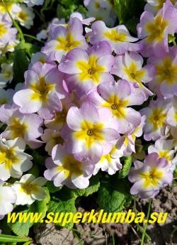 Примула бесстебельная «ЯБЛОНЕВЫЙ ЦВЕТ МИНИ» хамелеон- в процессе цветения цвет меняется со светлых тонов на более яркие. подушковидная- высота до 10 см, цветет май-июнь, ЦЕНА 150 руб (штука)