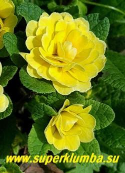 """Примула бесстебельная махровая   БАЛЕРИНА БАТТЕР ЕЛЛОУ (Primula acaulis Balerina Butter Yellow) Форма цветка  """"jack-in-the-green"""", эта форма имеет увеличенные  прицветники, образующие зеленый  воротник цветка. Эти необычные прицветники  сохраняют свой зеленый цвет после того, как цветок исчез, оставаясь очень привлекательным в течение долгого времени.  ЦЕНА  500 руб  НЕТ НА ВЕСНУ"""