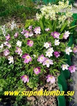 АНЕМОНА ДУБРАВНАЯ ВАЙТС ПИНК (Anemone nemorosa Wyatt's Pink) Куст в разгар цветения с цветами разных оттенков розового, смотрится очень эффектно.  НОВИНКА!   ЦЕНА 350 руб