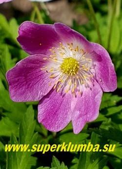 АНЕМОНА ДУБРАВНАЯ ВАЙТС ПИНК (Anemone nemorosa Wyatt's Pink) Цветок в конце цветения приобретает малиново-розовый цвет. НОВИНКА! ЦЕНА 350 руб