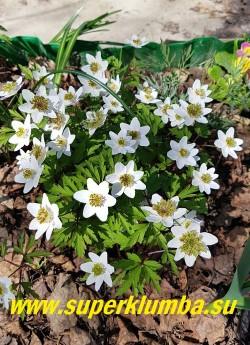 АНЕМОНА ДУБРАВНАЯ «Грин фингерз» (Anemone nemorosa «Green Fingers») белые цветки этого интересного сорта в центре украшены необычной короной зеленоватых выростов разного размера и степени рассечённости. Неприхотлива и морозостойка. Высота 15 см, цветет с мая, НОВИНКА! ЦЕНА 450 руб (делёнка)