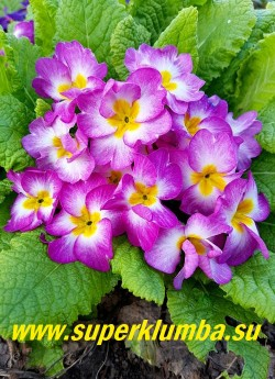 Примула бесстебельная «РОЗОВАЯ»,  розовые цветы с  белым центром и  небольшой желтой звездочкой в центре,  высота  до 10 см, цветет в мае, НОВИНКА!  ЦЕНА 400 руб