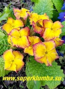 """Примула бесстебельная """"ЖЕЛТО-МАЛИНОВАЯ"""" Желтые цветы с малиновым краем, усиливающимся в процессе  цветения. Высота до 12 см, цветет апрель-май.    НОВИНКА! ЦЕНА 300 руб  НЕТ НА ВЕСНУ."""