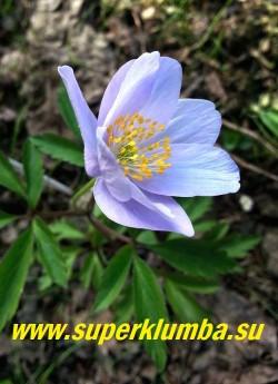 АНЕМОНА ДУБРАВНАЯ «Роял Блу» (Anemone nemorosa «Royal Blue»)  Высокий  с очень крупными нежно-голубыми цветами сорт, диаметр цветка 5-6 см, высота растения 17 см, цветет с мая. Полутень. Эфемероид. ЦЕНА 500 руб (делёнка)