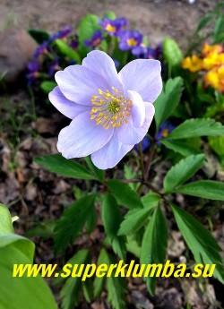 АНЕМОНА ДУБРАВНАЯ «Роял Блу» (Anemone nemorosa «Royal Blue»)  Высокий  с очень крупными нежно-голубыми цветами сорт, диаметр цветка 5-6 см, высота растения 17 см, цветет с мая. Полутень. Эфемероид. ЦЕНА 450 руб (делёнка)