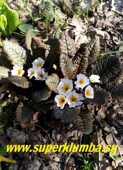 Примула бесстебельная ДРАМКЛИФФ (primula vulgaris Drumkliff) Новая серия с темноокрашенными шоколадного цвета листьями. Цветы кремово-розовые с желтым глазком. Высота 10 см. НОВИНКА! ЦЕНА 400 руб (штука) НЕТ НА ВЕСНУ