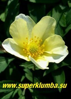 АНЕМОНА ЛЕЙПЦИГСКАЯ  (Anemona Lipsiensis) Цветок крупным планом.  РЕДКОЕ.  ЦЕНА 250 руб (делёнка)