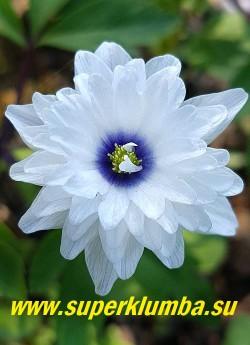 АНЕМОНА ДУБРАВНАЯ «Блю айз» (Anemone nemorosa «Blue Eyes») цветок в полном роспуске с фиолетовым глазом. НОВИНКА! ЦЕНА 600 руб (делёнка)