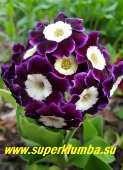 """Примула ушковая """"ФИОЛЕТОВАЯ №1"""" (Primula аuricula) крупная фиолетовая с белой серединкой,  с ароматом, высота до 15 см, цветет май-июнь, ЦЕНА 250 руб (штука)"""