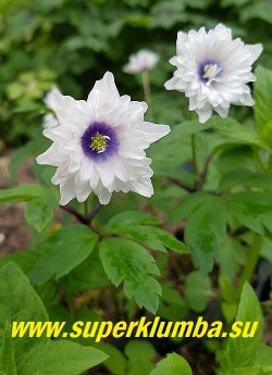 АНЕМОНА ДУБРАВНАЯ «Блю айз» (Anemone nemorosa «Blue Eyes») новый английский сорт с белыми махровыми цветками со светлорозовой изнанкой, у полностью распустившегося цветка в центре появляется сине-фиолетовый «глаз». Высота 10-15см. Цветение в мае. НОВИНКА! ЦЕНА 600 руб (делёнка)