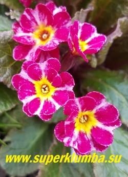 Примула гибридная ДАРК РОЗАЛИН (Primula Dark Rosaleen) цветы крупным планом.  НОВИНКА!  ЦЕНА 450 руб